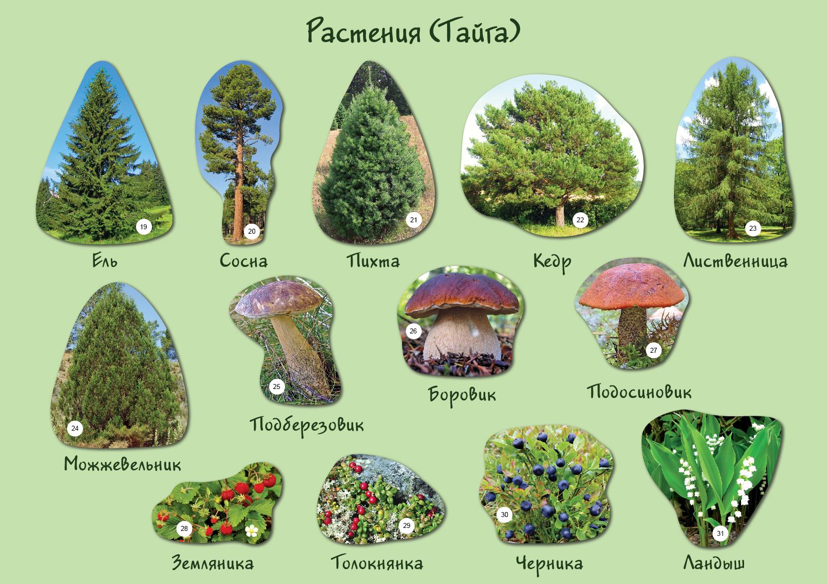 Растения тайги фото и названия